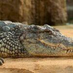 К чему снится крокодил | Сонник
