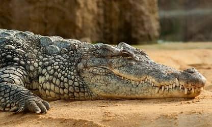 Крокодил сонник. Значение сна крокодил