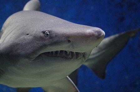 К чему снится акула